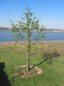 Mammutbaum am 20.04.2009